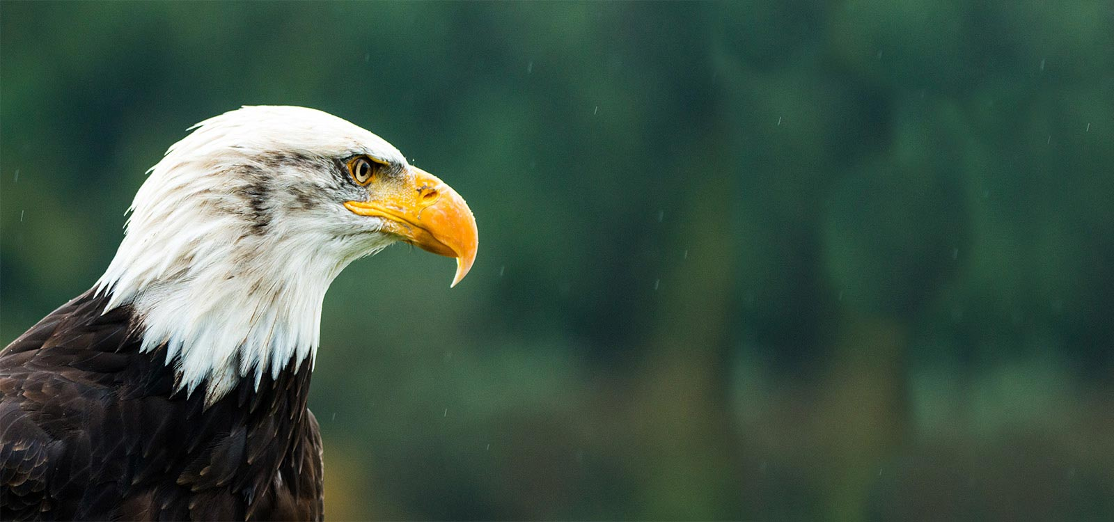 Bald Eagle - Made in America Movement